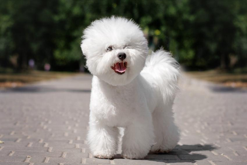 Cena bichon frise, a także pies podczas spaceru oraz cena szczeniaka z rodowodem