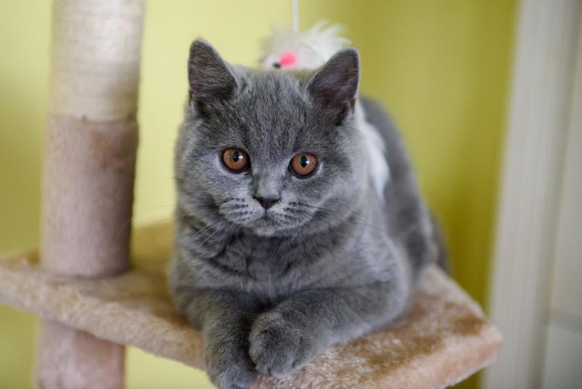 Kot kartuski leżący na drapaku, a także cena kota kartuskiego