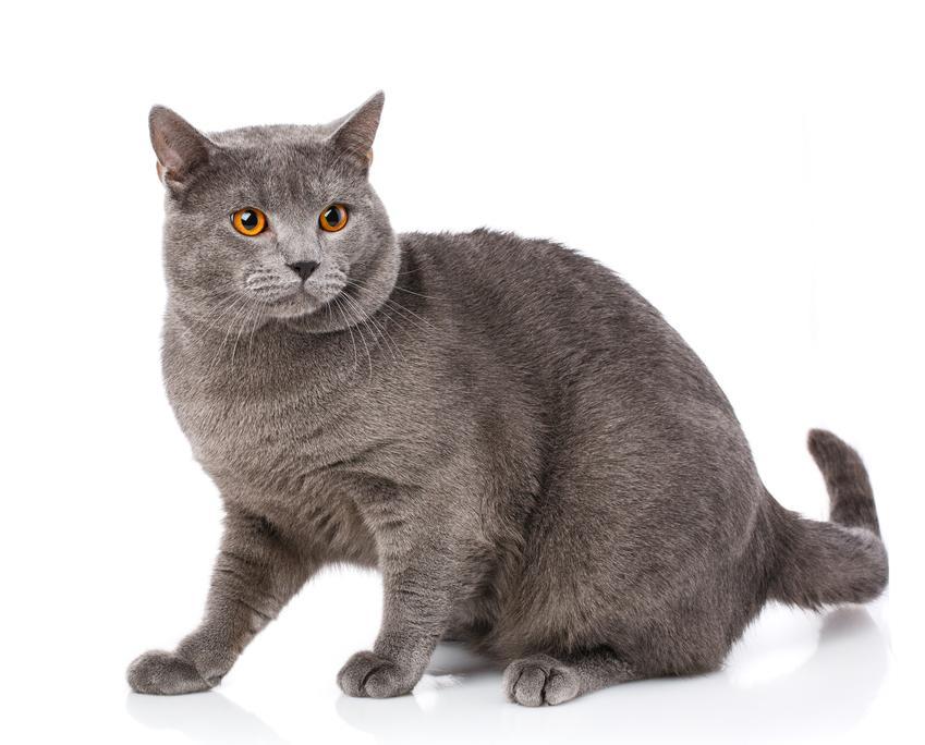 Kot kartuski na białym tle, a także cena kota kartuskiego