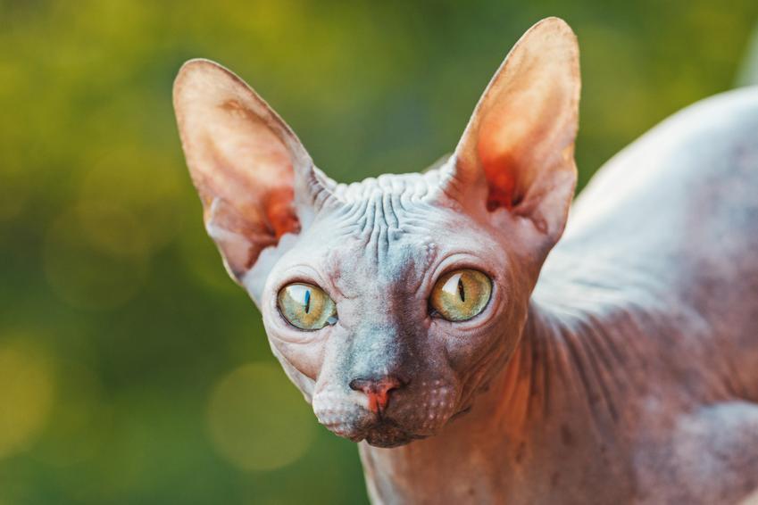Kot sphinx na zielonym tle, a także jego usposobienie i cena kota sfinksa
