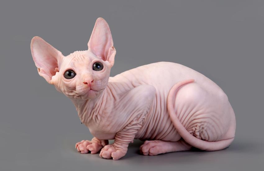 Kot sphinx na szarym tle, a także jego usposobienie i cena kota sfinksa