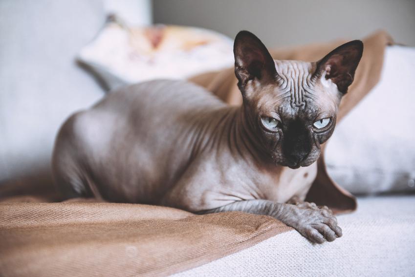 Kot rasy sfinks kanadyjski leżący w salonie oraz jego opis, charakter i hodowla