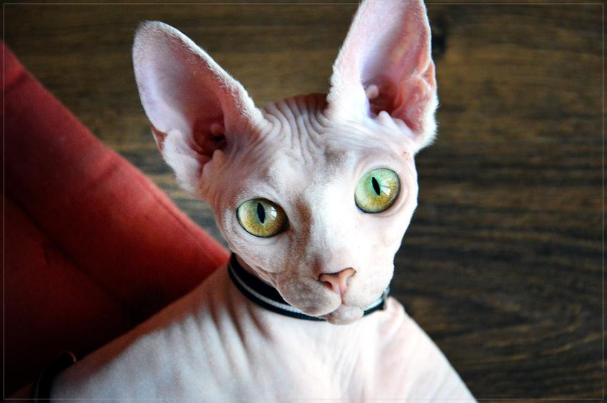 Kot rasy sfinks kanadyjski na ciemnym tle oraz jego opis, charakter i hodowla