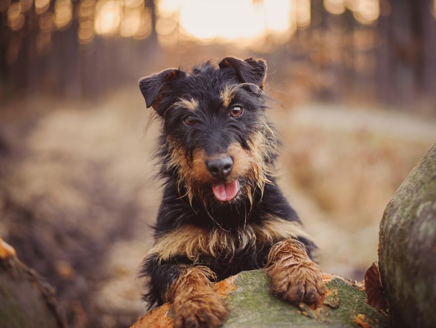 Pies rasy niemiecki terier myśliwski na łonie natury, a także jego charakter i cena
