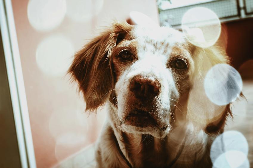 Pies rasy basset bretoński oraz basset gaskoński, a także ich charakter, hodowla i cena