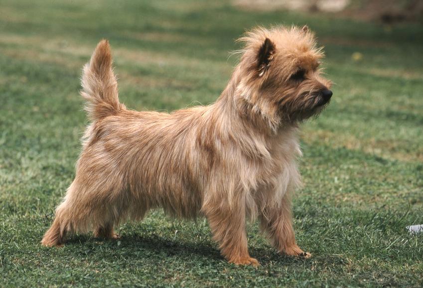 Pies rasy cairn terier na stojący na trawie, a także jego charakter, usposobienie i cena