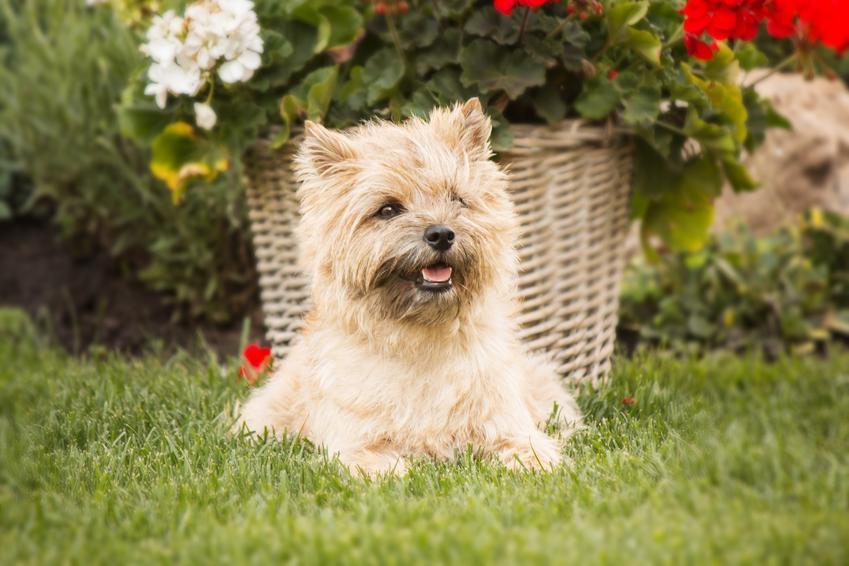 Pies rasy cairn terier leżący na trawniku, a także jego usposobienie, hodowla i cena