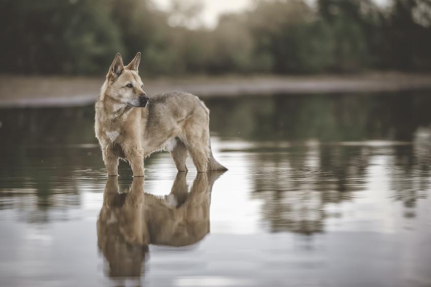 Pies rasy canaan dog na tle wody, a także jego charakter, usposobienie i cena
