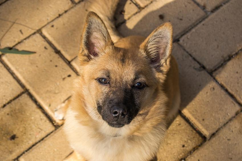 Pies rasy canaan dog siedzący na kostce brukowej, a także jego usposobienie, hodowla i cena