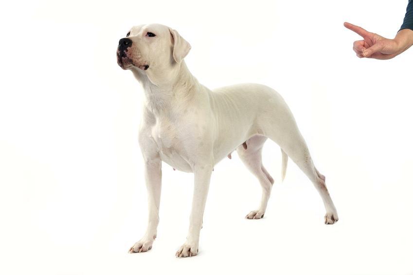 Pies rasy owczarek argentyński na białym tle oraz jego charakter i hodowla