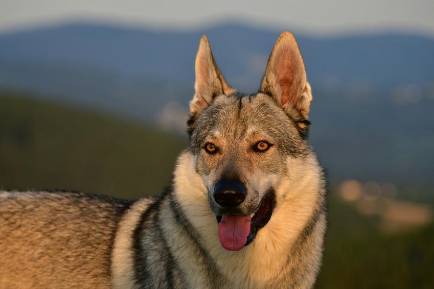 Pies rasy owczarek czechosłowacki na łonie natury, a także hodowla wilczaka czechosłowackiego w Polsce
