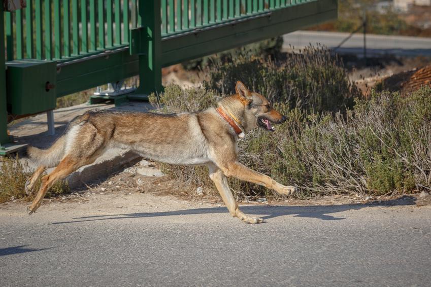 Pies rasy owczarek czechosłowacki podczas spaceru, a także polska hodowla wilczaka czechosłowackiego