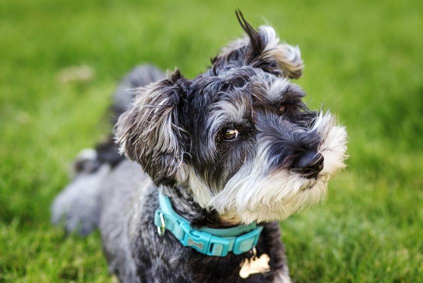 Pies sznaucer podczas spaceru na tle trawy, a także cena sznaucera miniaturowego