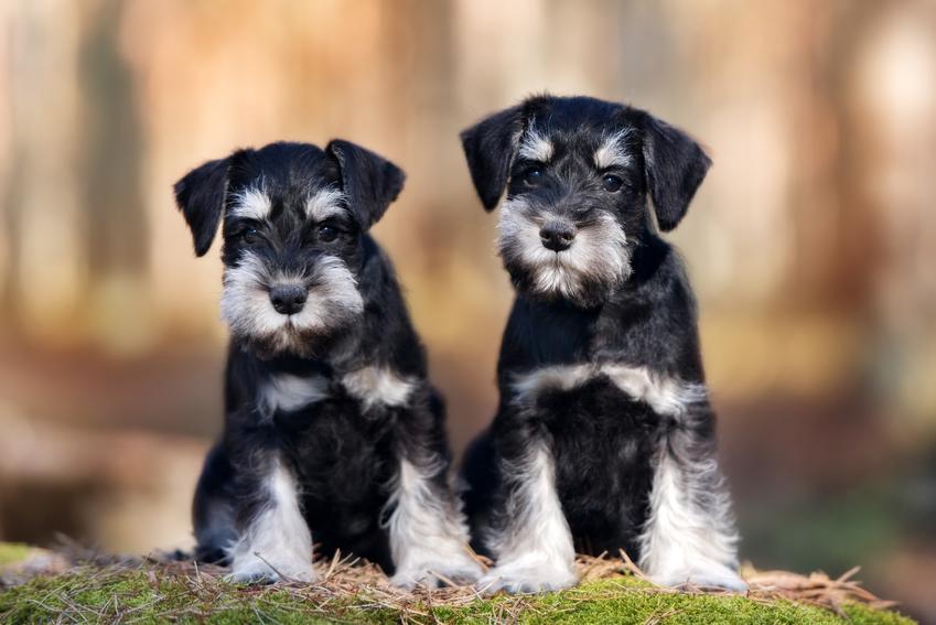 Dwa psy rasy sznaucer podczas spaceru, a także cena sznaucera miniaturowego