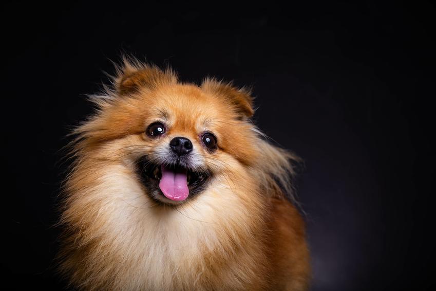 Pies pomeranian na czarnym tle, a także jego charakter i usposobienie
