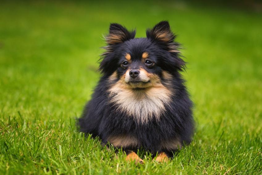 Pies rasy pomeranian siedzący na trawniku oraz jego charakter i hodowla