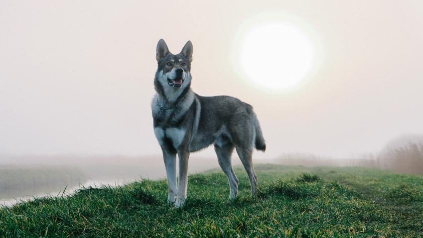 Pies rasy saarlooswolfhond wilczak na łonie natury oraz jego charakter i hodowla