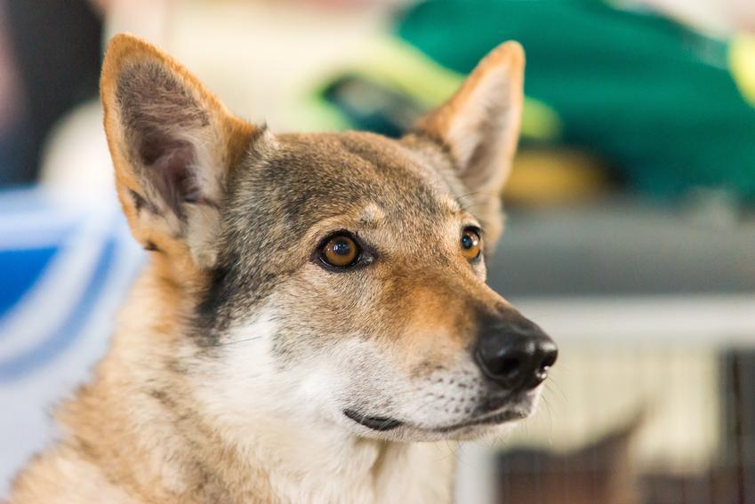 Pies rasy saarlooswolfhond podczas spaceru, a także jego charakter i usposobienie