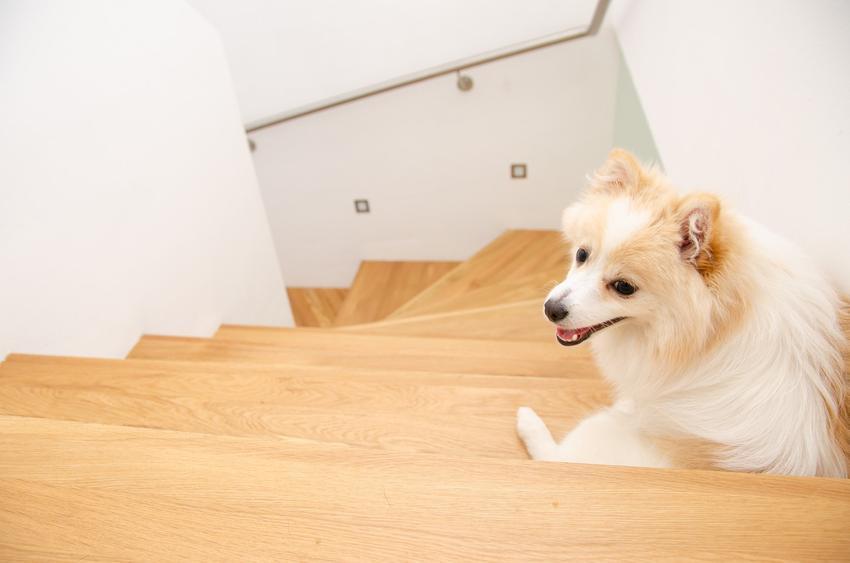 Pies rasy szpic niemiecki średni siedzący na schodach, a także jego hodowla i cena