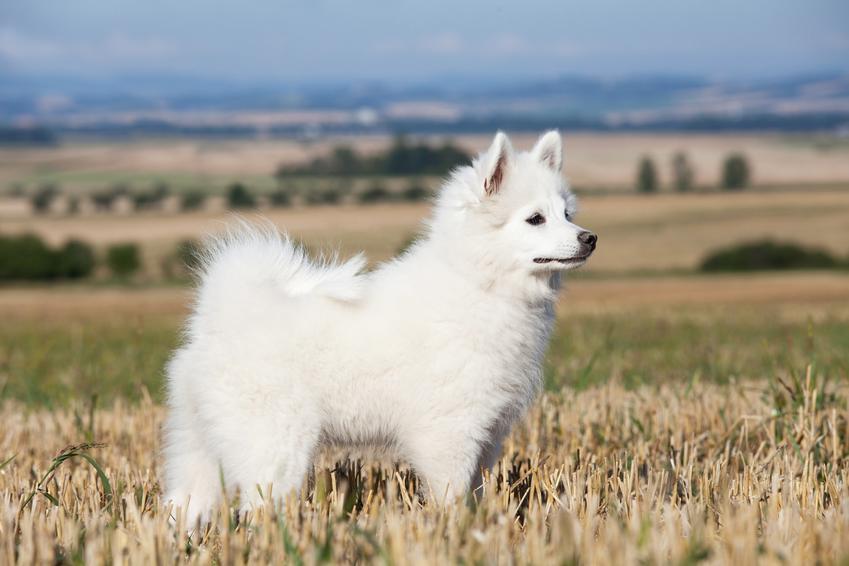 Pies rasy szpic niemiecki średni na tle natury, a także jego charakter i hodowla
