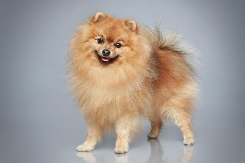 Pies rasy szpic niemiecki mały na szarym tle, a także jego hodowla i cena