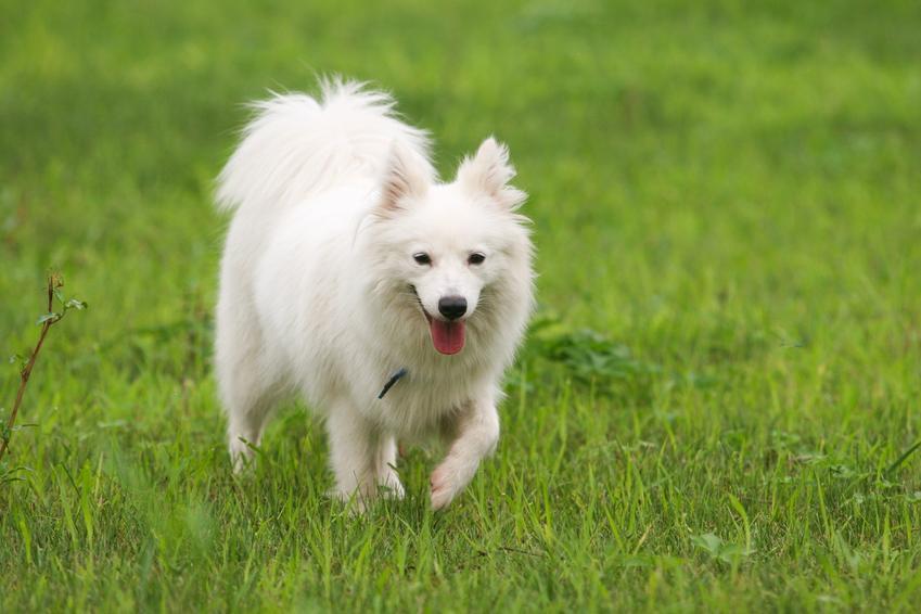 Pies rasy szpic japoński na tle trawy, a także jego hodowla i cena