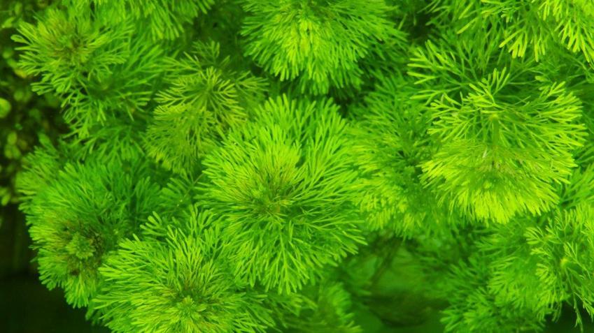 Roślinka akwariowa limnophila sessiliflora w akwarium, a także jej wymagania i uprawa