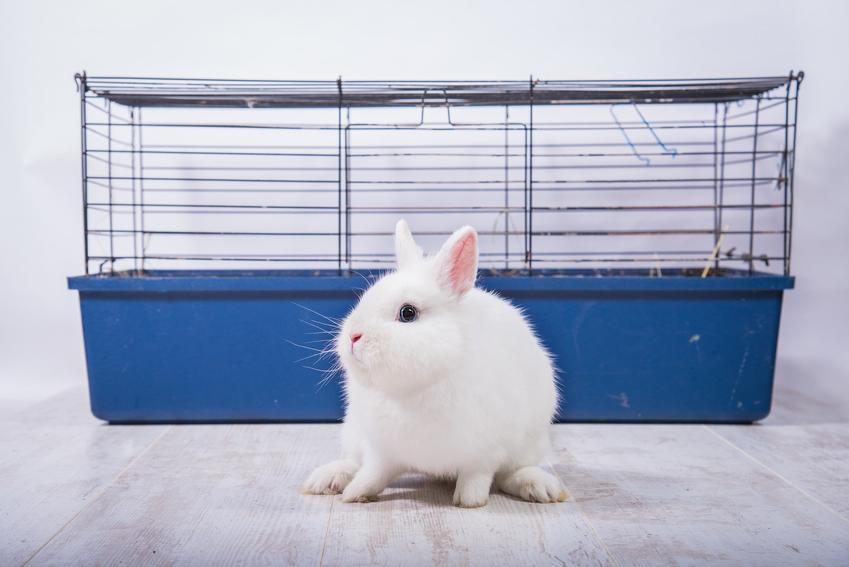 Mały biały królik przed niebieską klatką, a także informacje, jak długo żyją króliki