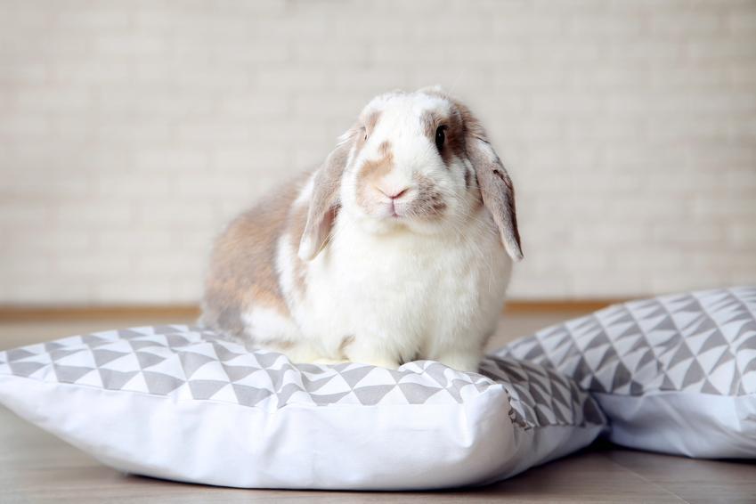 Królik domowy siedzący na poduszce, a także jak długo żyją króliki
