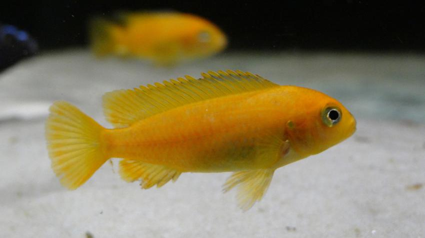 Młoda rybka akwariowa pyszczak saulosi w akwarium, a także jej wymagania i hodowla