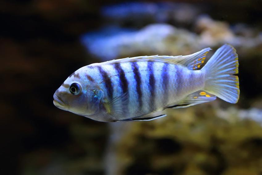 Rybka pyszczak saulosi w akwarium, a także jej wymagania, rozmnażanie i cena