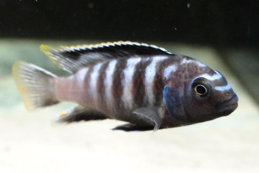Wybarwiona rybka pyszczak saulosi w akwarium, a także jej hodowla, wymagania i cena