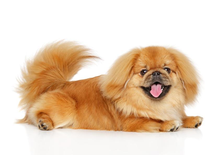 Pies rasy pekińczyk na białym tle, a także charakter pekińczyka, cena i hodowla