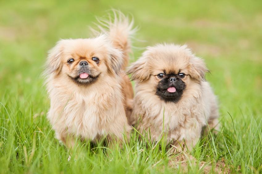Dwa psy rasy pekińczyk biegające po trawniku, a także informacje, ile żyją pekińczyki