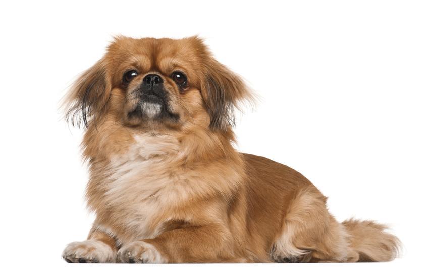 Pies rasy pekińczyk na białym tle, a także ile żyją pekińczyki i ich długość życia
