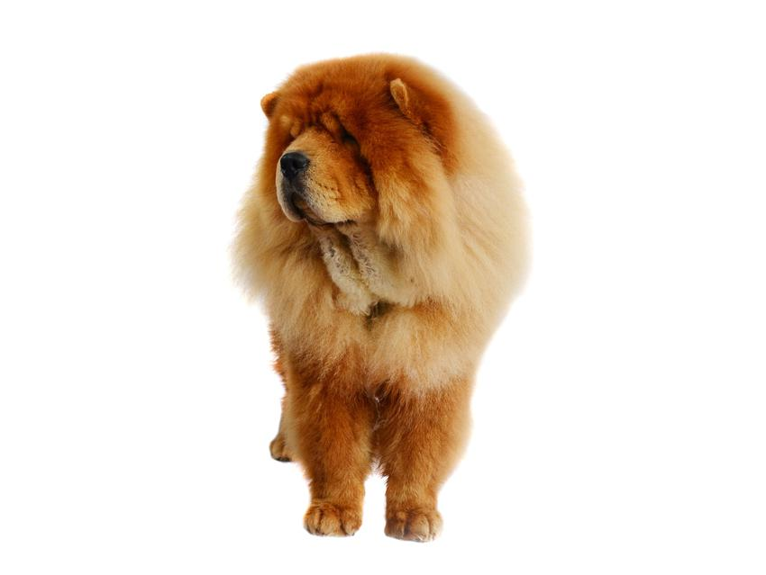 Pies rasy chow chow krótkowłosy na białym tle, a także jego charakter, hodowla i cena