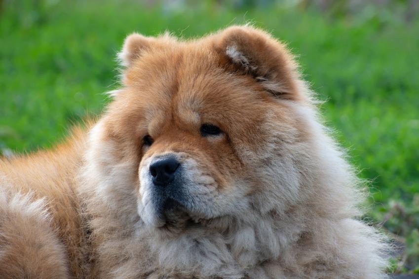 Pies rasy chow chow krótkowłosy na tle zieleni, a także jego usposobienie, charakter i cena