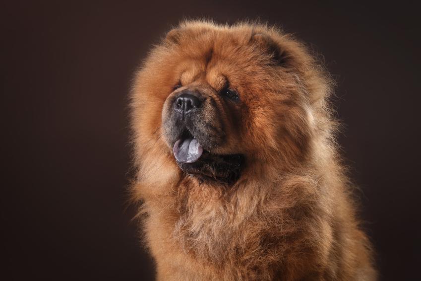 Pies rasy chow chow chau chau na czarnym tletle, a także jego charakter, hodowla i cena