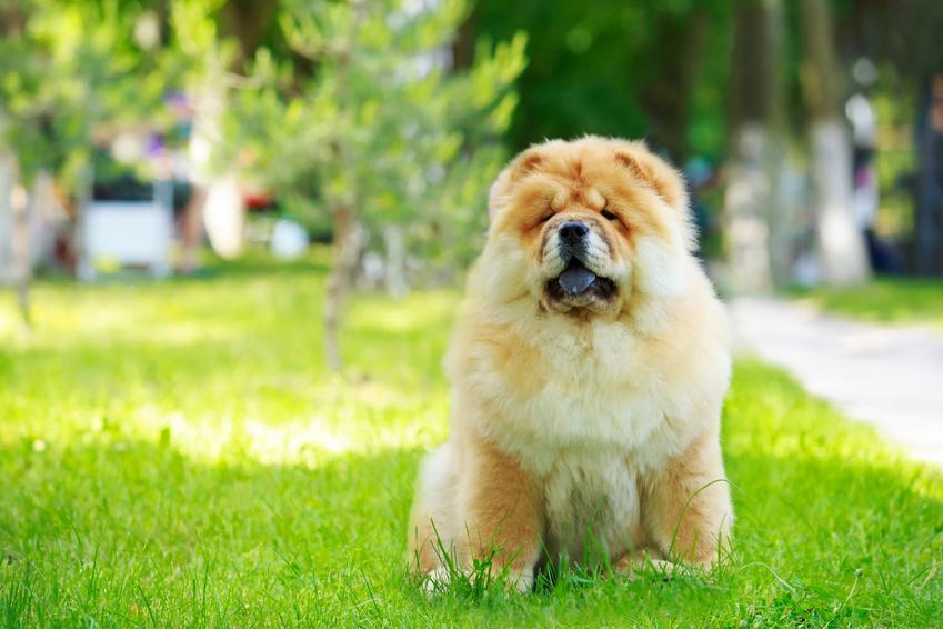 Pies rasy chow chow chau chau na tle zieleni, a także jego usposobienie, charakter i cena