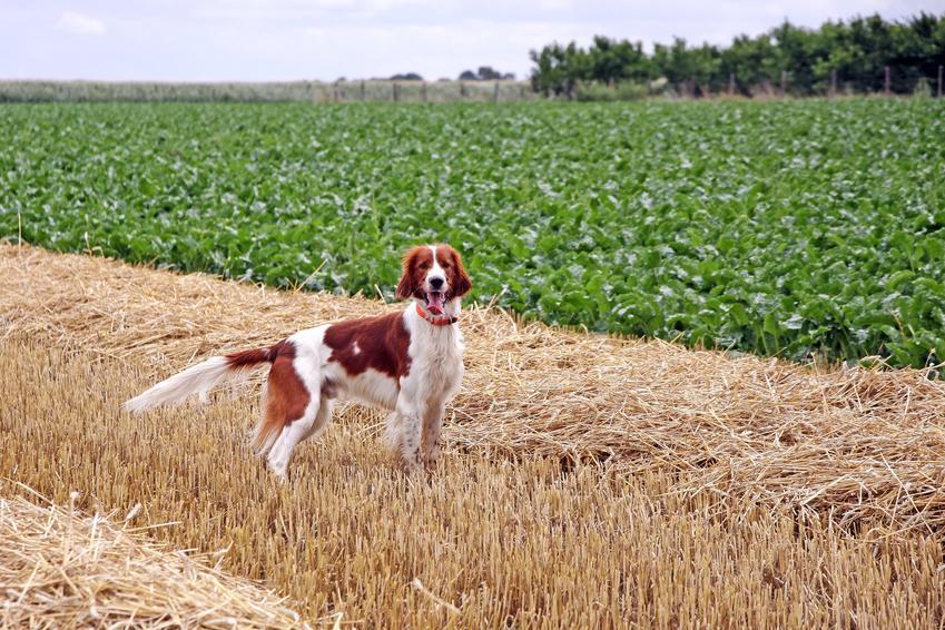 Pies rasy seter irlandzki czerwono-biały na polu zieleni, a także jego charakter, usposobienie i cena