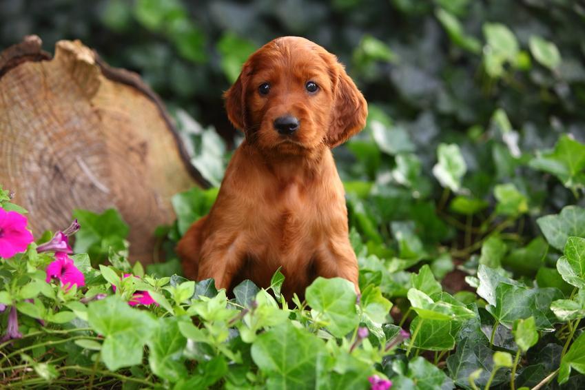 Szczeniak setera irlandzkiego w ogrodzie na tle zieleni, a także szczeniaki setera irlandzkiego i ich wychowanie