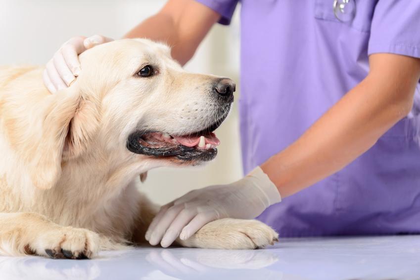 Pies u weterynarza, a także sterylizacja psa i cena kastracji psa