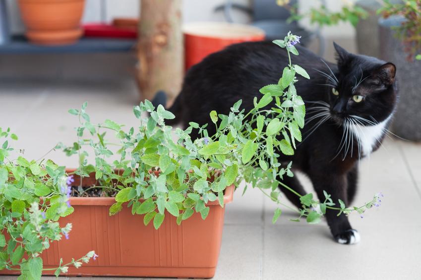 Kot obok kocimiętki, a także po co jest kocimiętka dla kota