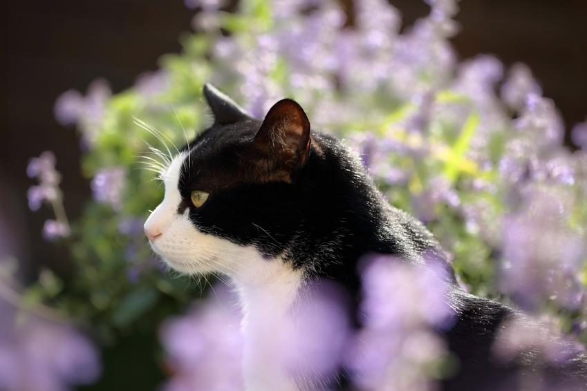 Kot na tle kocimiętki, a także informacje jak działa kocimiętka dla kota