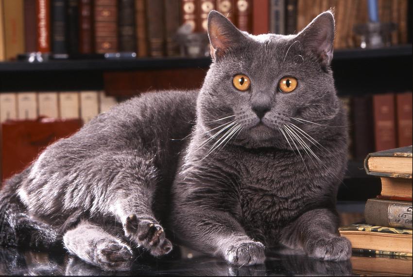 Kot kartuski na biurku na tle książek, a także jego charakter, usposobienie, cena i wychowanie