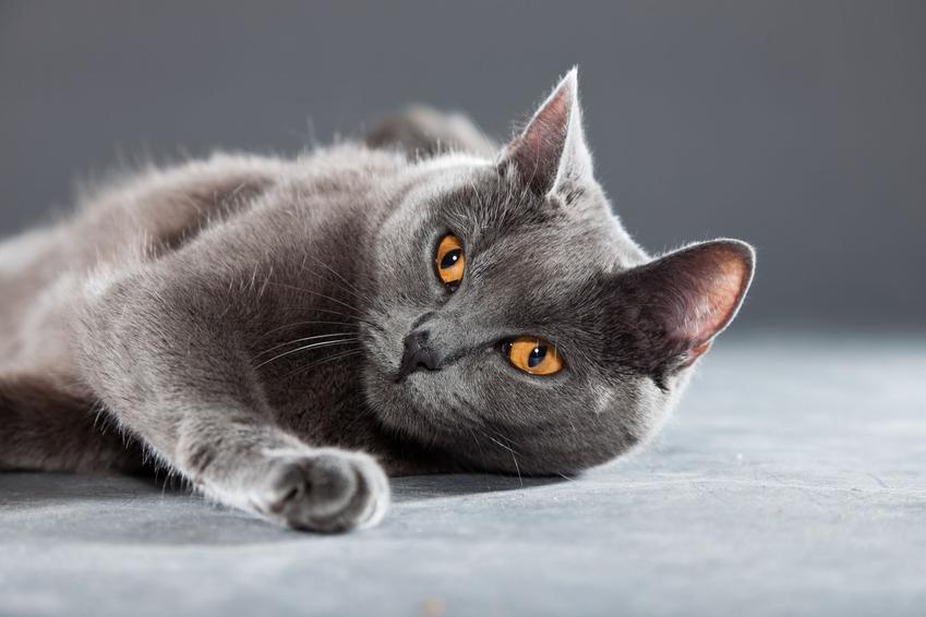Kot kartuski na szarym tle, a także jego charakter, hodowla i cena