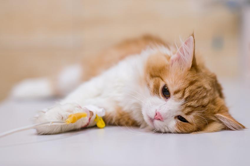 Kot leżący z wenflonem, a także kotka po sterylizacji i jej zachowanie