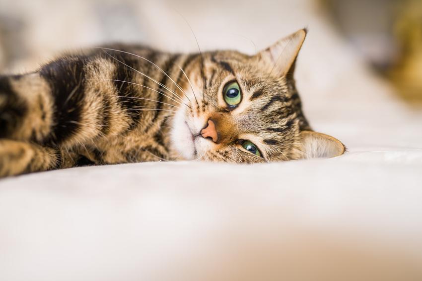 Kotka leżąca w domu na łózku oraz kotka po sterylizacji i jak zachowuje się kotka