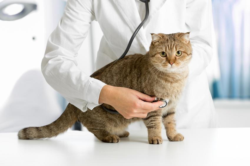 Kot u weterynarza podczas badania, a także cena kastracji kota i sterylizacji