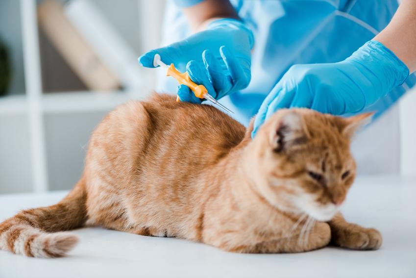 Rudy kot podczas zastrzyku u weterynarza, a także zabieg i cena kastracji kota